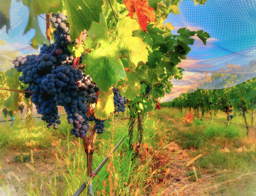 Dealing with a warmer climate in the vineyard