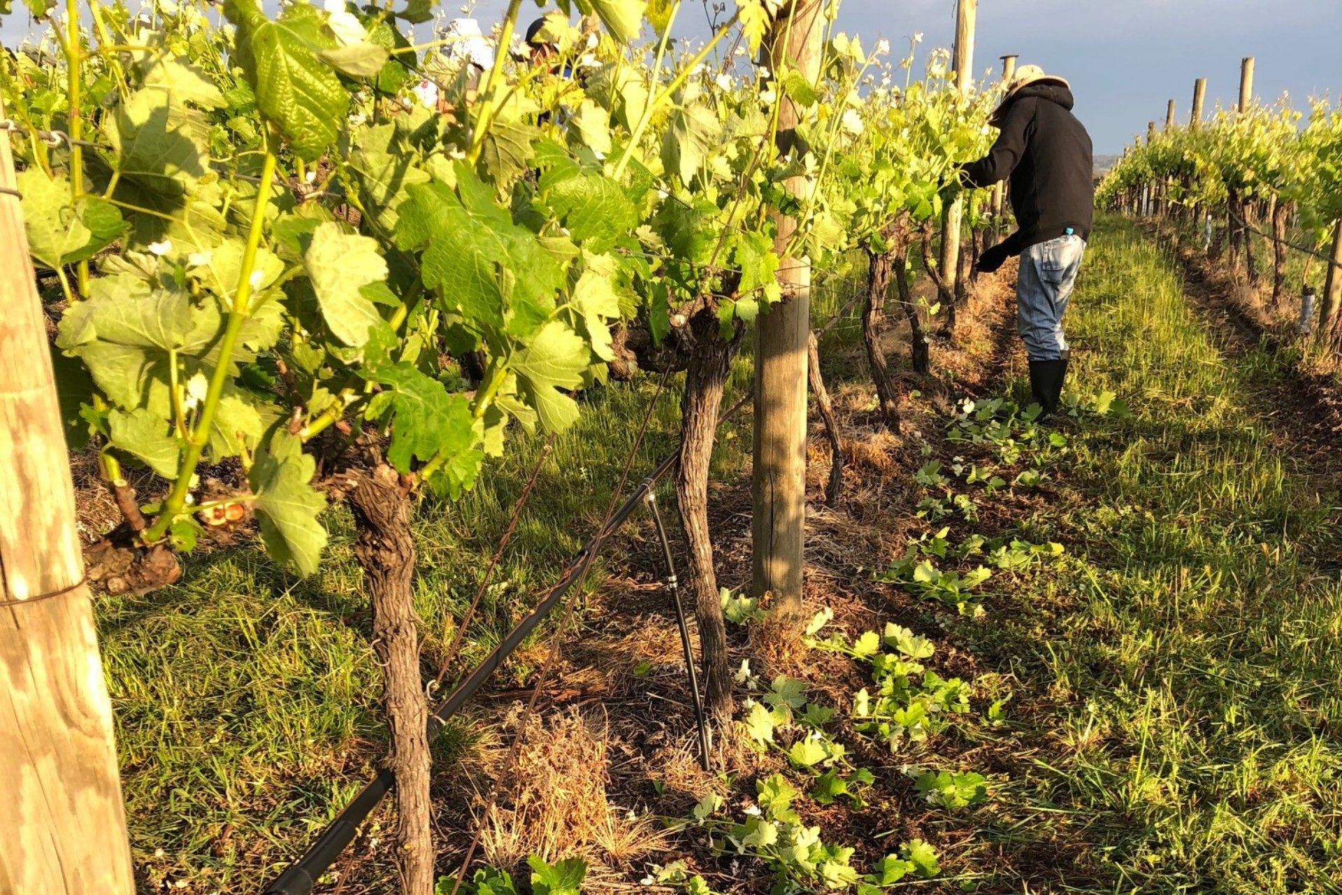 image of vineyard manager thinning shoots on the vineyard