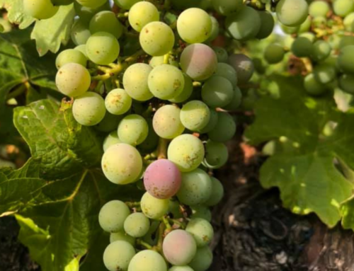 What on earth is veraison?
